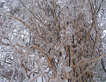Icicles on twig formed Royalty Free Stock Image