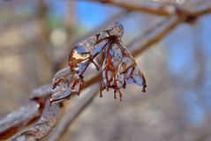 Icicles on twig after freezing rain Royalty Free Stock Image