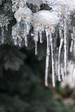 Icicles on winter branches Stock Image