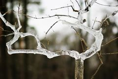 Icing on the frozen branch of a small young tree in the winter Royalty Free Stock Image