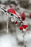 Icing rain on plant branch Royalty Free Stock Photos