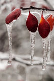 Icing rain on plant branch Stock Images
