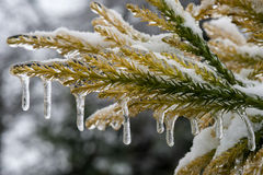 Icing rain on tree branch Stock Photo