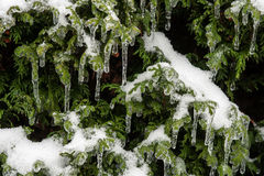 Icing rain on tree branch Royalty Free Stock Image