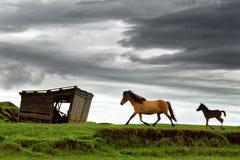 Icland hästar går över en äng royaltyfri fotografi