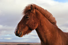 Iclandic horse Royalty Free Stock Photography