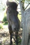 Icleandic-Pferd Lizenzfreie Stockfotos
