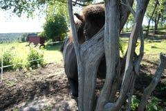 Iclelandic horse behind a tree. Royalty Free Stock Image