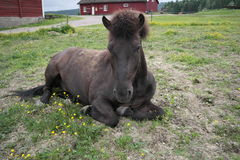 Iclelandic horse lying down Stock Photo