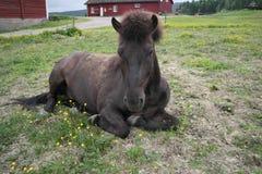 Iclelandic horse lying down Stock Photo