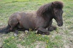 Iclelandic-Pferd, das sich hinlegt Stockfoto