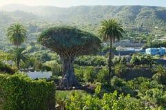 Icod de los Vinos, isola di Tenerife, Spagna Immagine Stock
