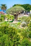Icod de los Vinos, Tenerife, islas Canarias, España: Jardín botánico y árbol milenario famoso Drago Fotos de archivo libres de regalías