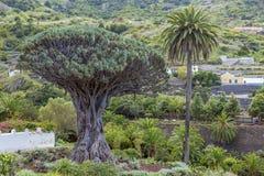 Icod Spanje 03-05-2019 Oude duizendjarige Dragon Tree en Palm in Icod de los Vinos in Tenerife Canarische Eilanden stock foto