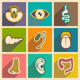 Icon of assembly internal organs in flat style Royalty Free Stock Image