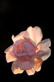 Icon rose royalty free stock photos