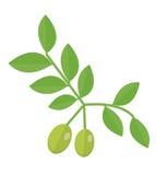 Icona del ramo di ulivo Olive verdi sullo stile piano del ramo, olive su un fondo bianco Logo verde oliva Illustrazione di vettor royalty illustrazione gratis