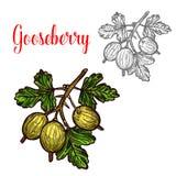 Icona della bacca della frutta di schizzo di vettore dell'uva spina royalty illustrazione gratis