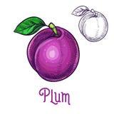 Icona della frutta isolata schizzo di vettore della prugna royalty illustrazione gratis
