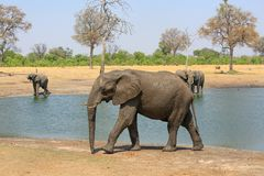 Iconic African Elephant walking beside a waterhole with others in the background enjoying a drink, Hwange National Park, Zimbabwe. Elephant walking infront of a stock photography