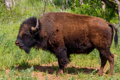 An Iconic American Bison (or Buffalo) in Oklahoma. Stock Images