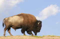 Iconic American Buffalo. Skylined in Yellowstone National Park Stock Image