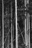 Black and white of stand of aspens in Colorado stock photos