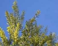 Iconic Australian Spring Wildflower Golden Wattle Stock Photography