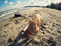 A dog enjoys the famed beaches of Cleveland, Ohio. The iconic beaches of Lake Erie and The Great Lakes are what make Cuyahoga a Great County to live in stock image
