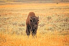 Iconic Bison Stock Images