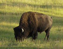 Iconic bison in Yellowstone Stock Image