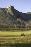 Iconic bison in Yellowstone Royalty Free Stock Photo