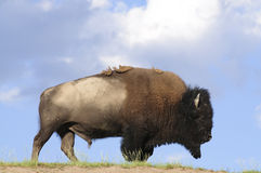 Iconic buffalo. Iconic North American buffalo in Yellowstone National Park stock photos