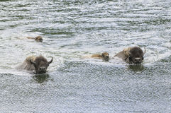 Iconic buffalo beside the yellowstone river Stock Image