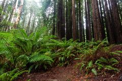 The iconic ferns and tall californian redwood trees in Beechfore. St Victoria Australia on 23rd June 2018 royalty free stock images