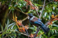 New Zealand Tui Honey Eater Bird. Iconic New Zealand Bird With Two White Feathers Under Its Neck, Sitting In a Flax Bush Looking For Pollen royalty free stock photos