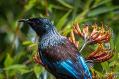 New Zealand Tui Honey Eater Bird Head Closeup. Iconic New Zealand Bird With Two White Feathers Under Its Neck, Sitting In a Flax Bush Looking For Pollen Royalty Free Stock Photography