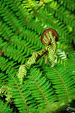 New Zealand koru Royalty Free Stock Image