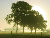 Iconic Oaks, Four Of Them Stock Images