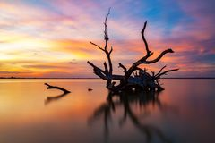 An iconic old dead redgum tree in  Lake Bonney Barmera South Aus Stock Photo