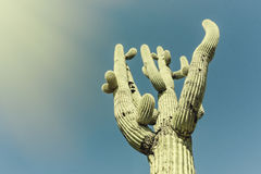 Iconic Saguaro Cactus Tree. image cross processed. Sunlight from side Stock Photography