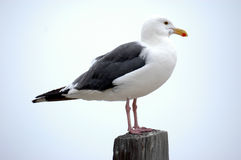 Iconic Seagull Royalty Free Stock Images