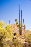 Iconic Southwest Scene. A majestic Saguaro cactus towers above the colorful Sonoran desert landscape Stock Photography