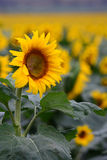 Iconic Sunflower crop in Queensland, Australia Royalty Free Stock Photo