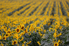 Iconic Sunflower crop in Queensland, Australia Royalty Free Stock Photos