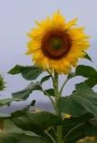 Iconic Sunflower in Queensland, Australia Stock Image