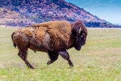 An Iconic Wild Western Symbol - the American Bison, Roaming the Range in Oklahoma Stock Photos