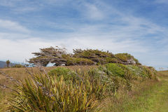 Iconic windswept trees of New Zealand Stock Photo