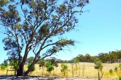 Iconisch Australisch landschap met grote eucalyptusgumtree, Zuid-Australi? stock foto