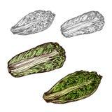 Icono de la verdura del bosquejo del vector de la col de China ilustración del vector